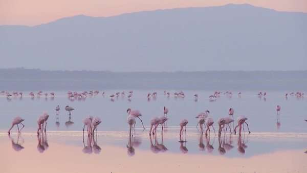 Beautiful footage of pink flamingos in early morning light on Lake Nakuru, Kenya. Royalty-free stock video