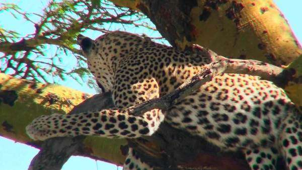 An African leopard lounges in a tree. Royalty-free stock video