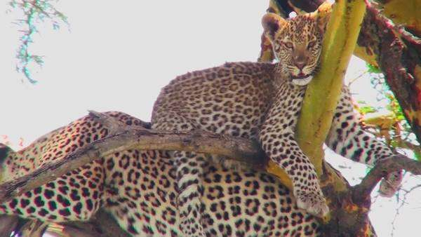 A very cute leopard baby sits on his mother in a tree in Africa. Royalty-free stock video