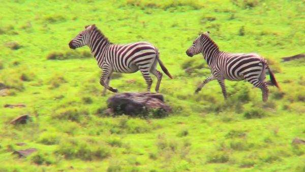 Zebras running in a field in Africa. Royalty-free stock video