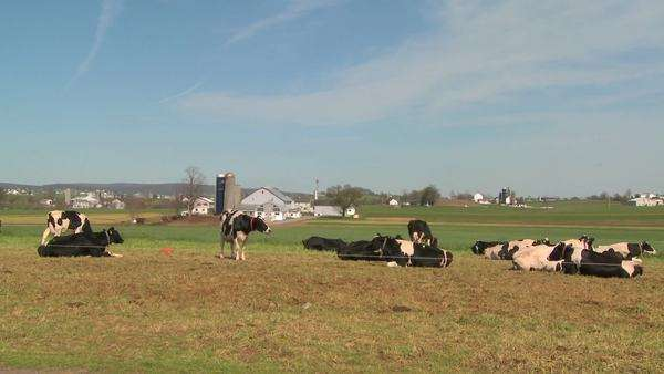 Cows sit in the sun on an Amish farm in Lancaster, Pennsylvania. Royalty-free stock video