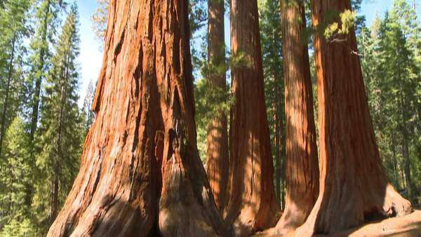 Tilt up giant Sequoia trees in Yosemite National Park. Royalty-free stock video