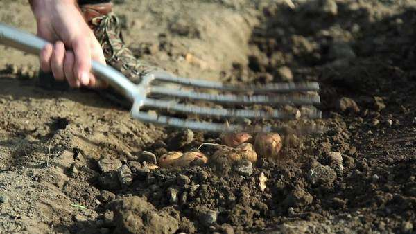 Farmer digging in potato field Royalty-free stock video