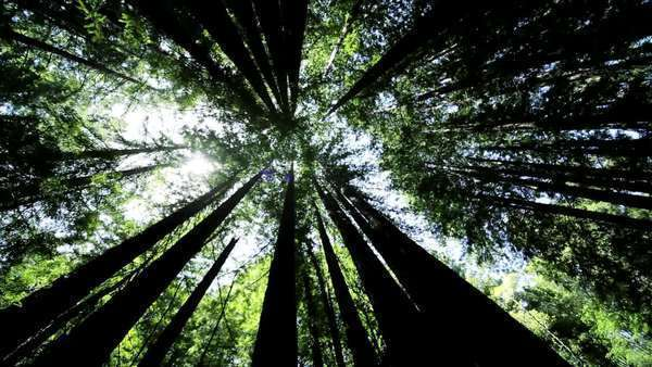 High-angle view looking up to the sky between giant redwood trees in a national park Royalty-free stock video
