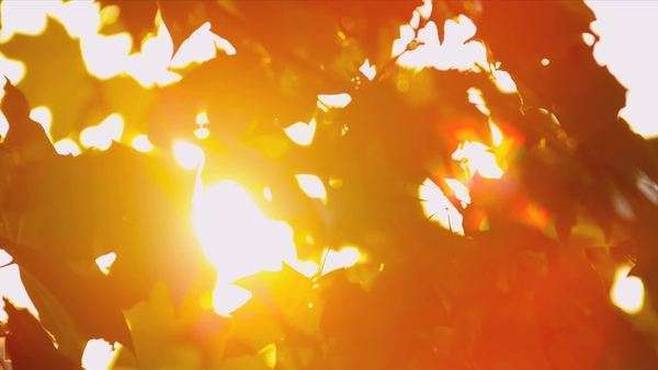 Sun shining through fall leaves blowing in breeze shot on RED EPIC Royalty-free stock video
