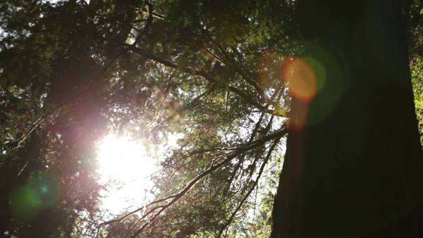 Slightly tilted, low pan through pine forest canopy with sun shining through Royalty-free stock video