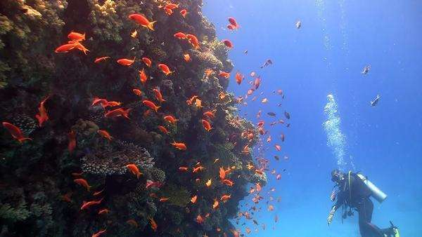 Red fish on coral reef, Red Sea Royalty-free stock video