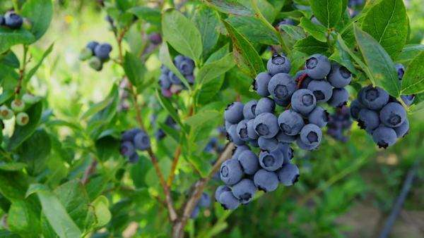 Blueberries on  the bush Royalty-free stock video