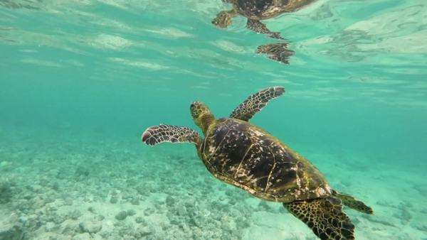 Hawaiian sea turtle breaches for some fresh air Royalty-free stock video