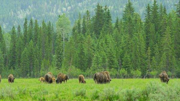 Herd of Bison grazing with calf forest wilderness summer, North America  RED EPIC Royalty-free stock video