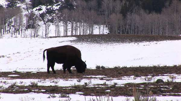 Silhouetted against a snowy background, a bison grazes on a bare patch of prairie grass. Royalty-free stock video