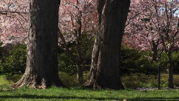 Cherry blossoms gently fall to the ground. Royalty-free stock video
