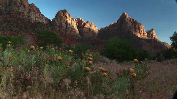 Medium shot of blooming desert cactus in Zion National Park. Royalty-free stock video