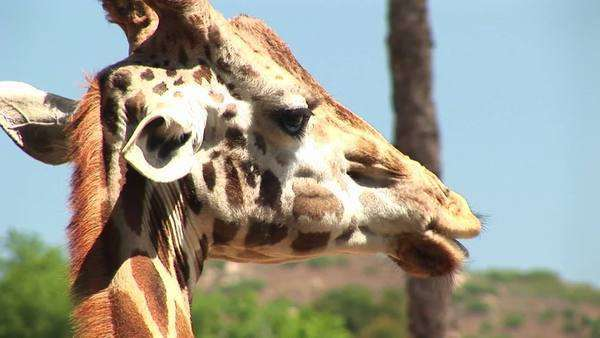 A giraffe chews leaves. Royalty-free stock video