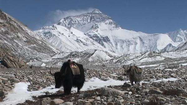 Yaks walking towards Everest base camp with Mt. Everest in the background Royalty-free stock video