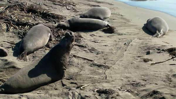 Elephant seals lie on the beach. Royalty-free stock video