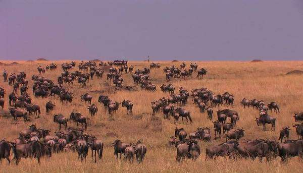 Massive herd of wildebeest roam a tall grass land area. Royalty-free stock video