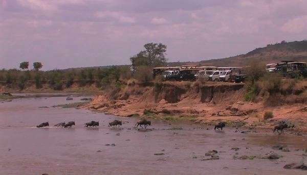 A herd of wildebeest cross a river watched by people parked on a ridge above. Royalty-free stock video