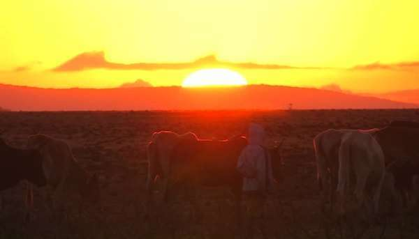 Men move a herd of cows along as the sun sets, and a car drives away. Royalty-free stock video