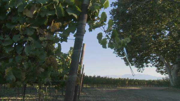 Slow pan across a vineyard on a windy day in California wine country. Royalty-free stock video