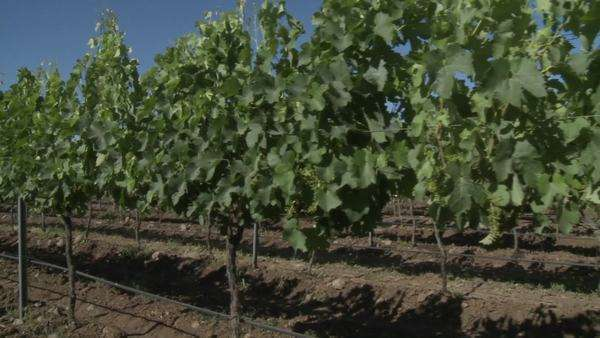 A dolly move through a row of merlot wine vines in Talca Chile. Royalty-free stock video