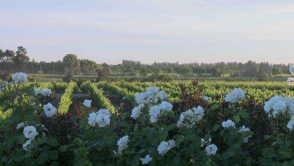 Pan across a vineyard in Talca Chile. Royalty-free stock video