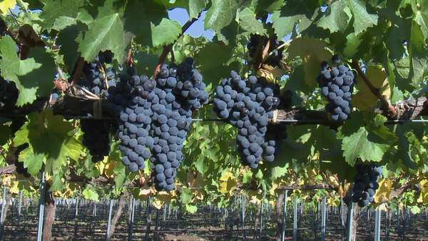 Slow move into a cluster of red wine grapes during harvest in Chile. Royalty-free stock video