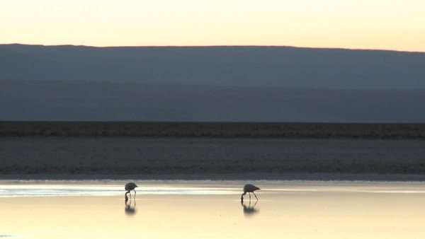 Flamingos feed in the brine of Laguna Chaxa in the Reserva Nacional Los Flamenco, Chile Royalty-free stock video