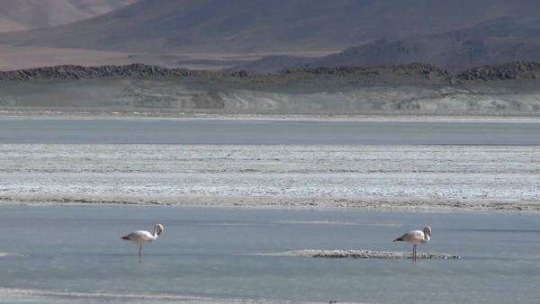 A vertical pan of a flamingo and the Salar de Laco in the altiplano high above San Pedro de Atacama Chile. Royalty-free stock video