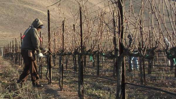 Field workers pruning dormant grape vines in a California vineyard. Royalty-free stock video