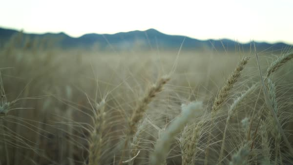 Close-up shot of cereal crops at daytime Royalty-free stock video