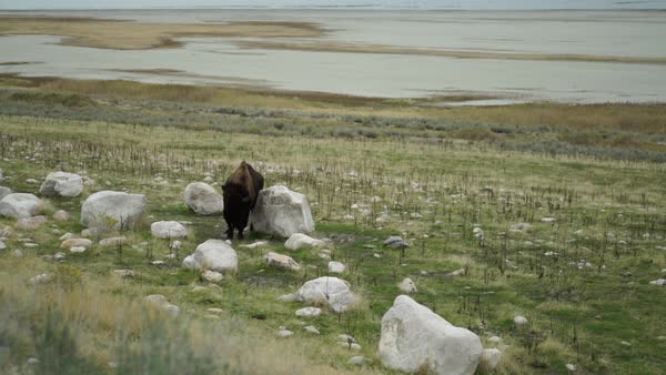 Wide shot of a buffalo scratching against a rock Royalty-free stock video