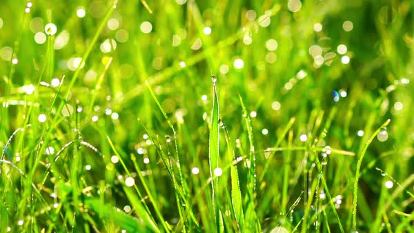 Grass with dew drops at sunrise. Blurred grass background with water drops. Close-up. Nature. Royalty-free stock video