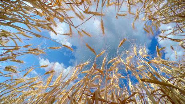Golden wheat ready to be harvested, bottom view with camera rotation Royalty-free stock video