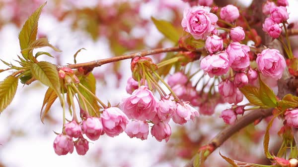 Sakura blossom with pink flowers on the tree Royalty-free stock video