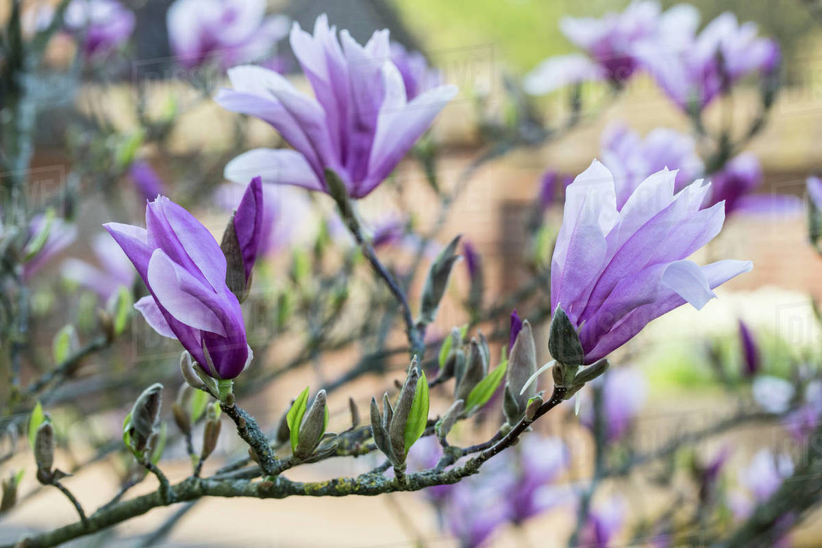 Close Up Of Magnolia Tree With White And Purple Blossoms Stock