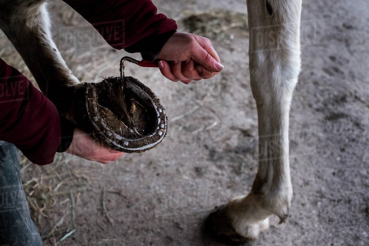 High angle close up of person cleaning hoof of white horse. Royalty-free stock photo