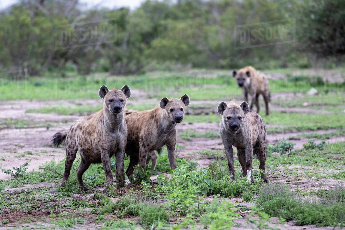 A clan of spotted hyenas, Crocuta crocuta, stand together, direct gaze Royalty-free stock photo