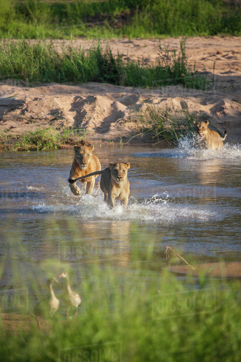 A pride of lions, Panthera leo, run through a river Royalty-free stock photo