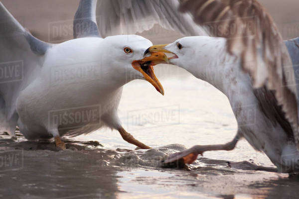 Two territorial Gulls fighting. Royalty-free stock photo