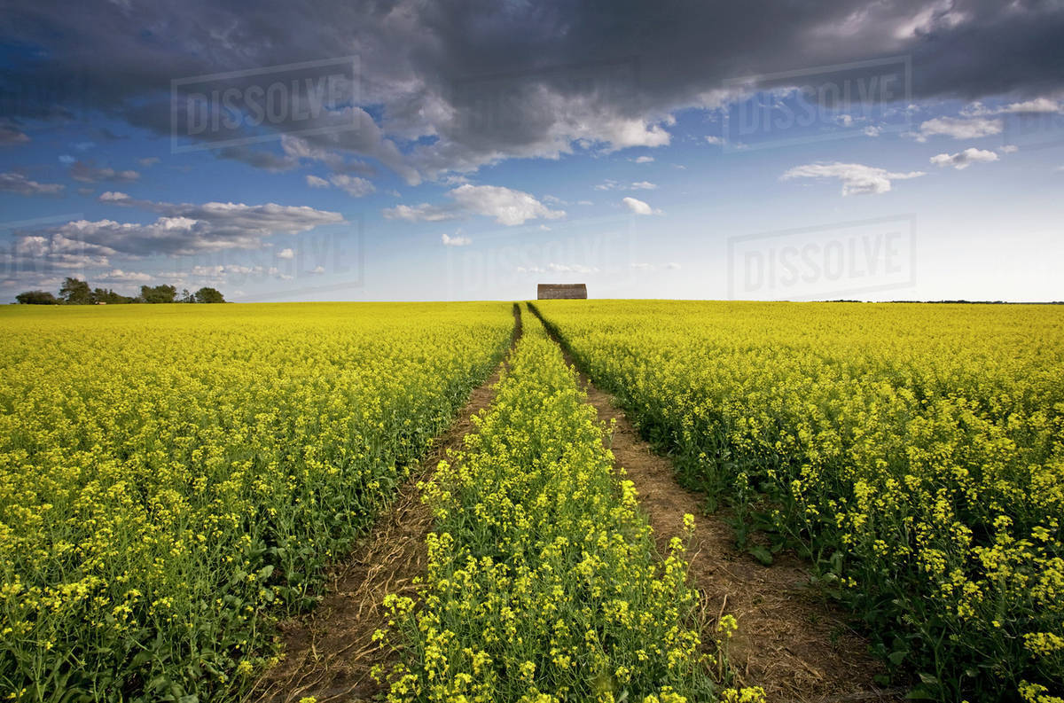 A Landscape Of Flowering Canola Crops With Yellow Flowers The