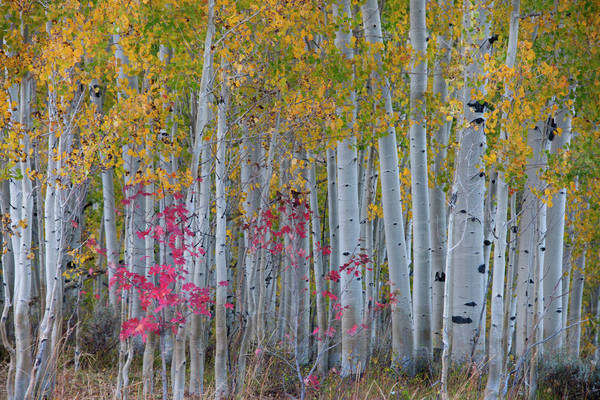 Maple and aspen trees in the national forest of the Wasatch mountains. White bark and slender tree trunks.  Royalty-free stock photo