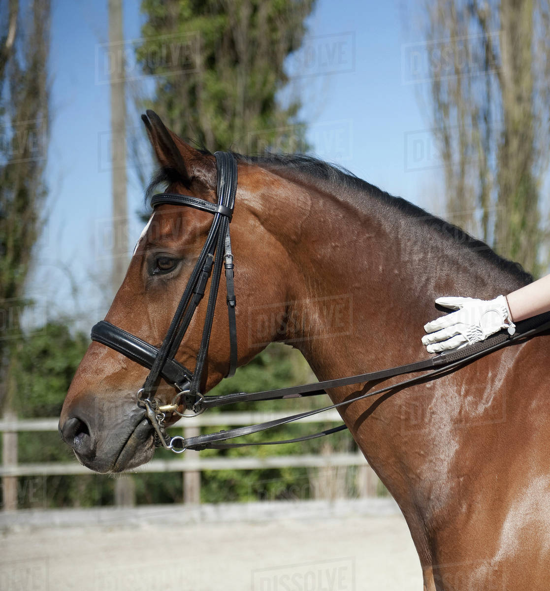 Side View A Bay Horse With A Bridle A Rider S Gloved Hand On The Glossy Brown Hide Of The Neck Stock Photo Dissolve