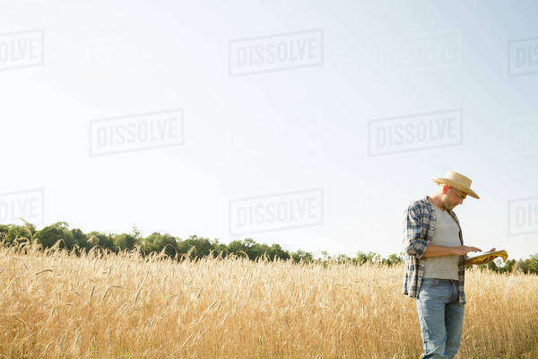 Man wearing a checked shirt and a hat standing in a cornfield, a farmer using a digital tablet. Royalty-free stock photo