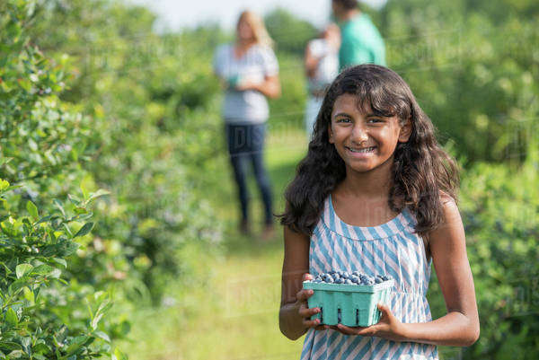 People picking fresh blueberries from the organic grown plants in a field.  Royalty-free stock photo