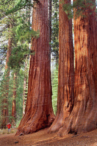 Giant sequoia grove, Sequoiadendron giganteum, Yosemite National Park, California Rights-managed stock photo