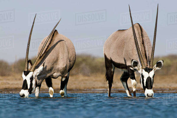 Oryxes drinking at waterhole, Oryx gazella, Etosha National Park, Namibia Rights-managed stock photo