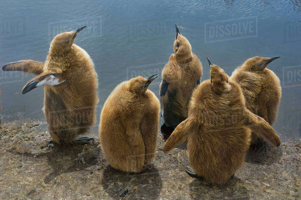 King penguin chicks, Aptenodytes patagonicus, on the Falkland Islands Rights-managed stock photo