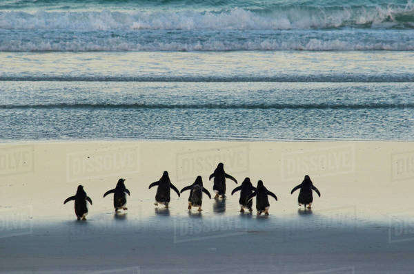 Gentoo penguins heading to sea, Pygoscelis papua, Falkland Islands Rights-managed stock photo