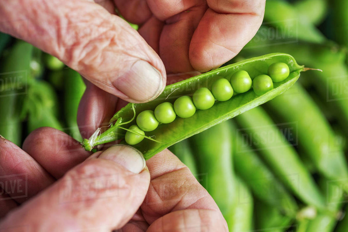 a man opening a peapod to see the fresh peas growing inside it rh dissolve com peapod coupons peapod shop
